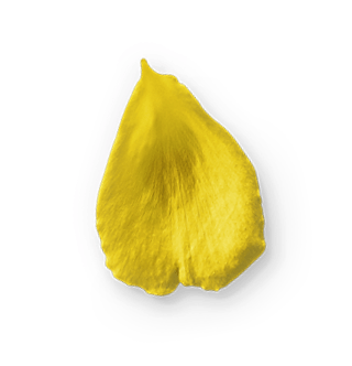 Ferme Chauvet Yellow Rose Petal 09